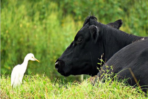 An egret and a cow